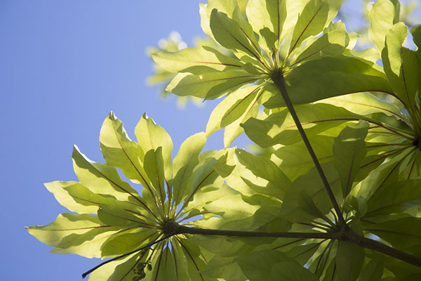 Photo de Leaves of tree on Ile aux Aigrettes - Maurice - Afrique