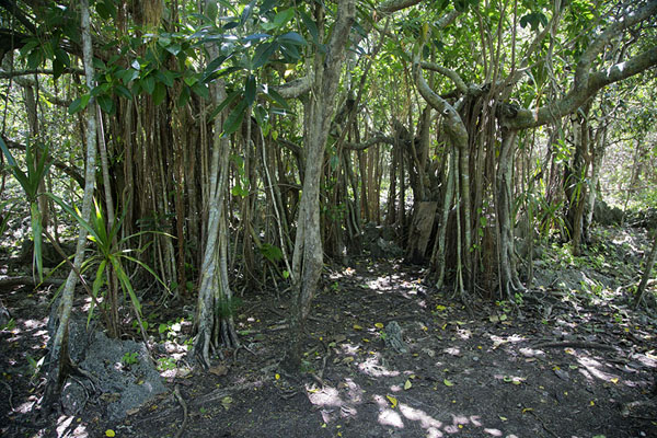Picture of Trees on Ile aux AigrettesIle aux Aigrettes - Mauritius