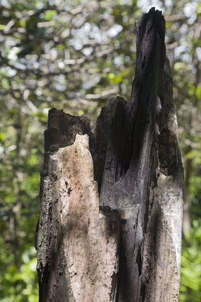 Picture of Ebony tree on Ile aux Aigrettes, one of the endemic trees so precious it was almost completely eradicated - Mauritius - Africa