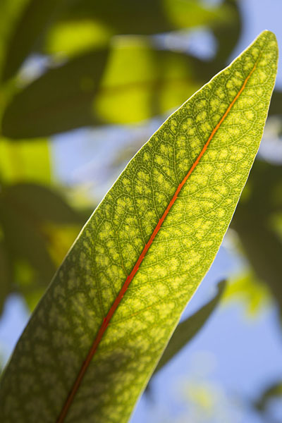 Looking at a colourful leaf on a tree on Ile aux Aigrettes - 模里西斯
