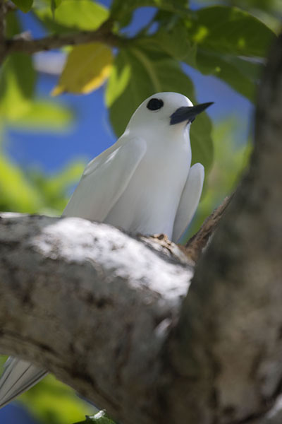 White tern in a tree on Ile aux Cocos | Ile aux Cocos | 模里西斯