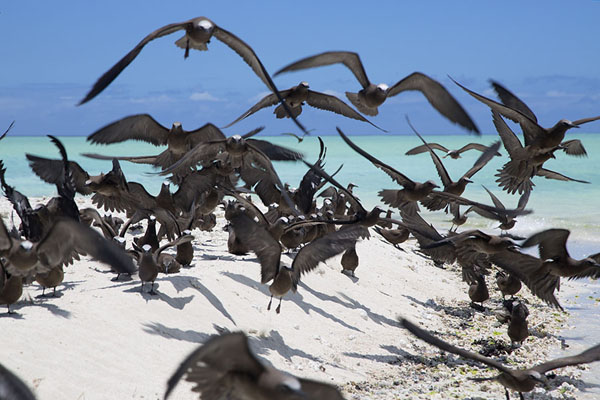 Foto van Group of brown noddies taking off from the white beach of Ile aux CocosIle aux Cocos - Mauritius