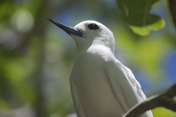 Foto van White tern in a tree on Ile aux CocosIle aux Cocos - Mauritius