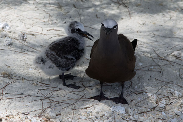 Foto de Brown noddy with chick on the beach of Ile aux CocosIle aux Cocos - Mauricio