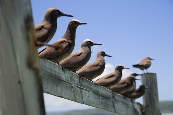 Foto van Row of lesser noddies sitting on a fence on Ile aux CocosIle aux Cocos - Mauritius