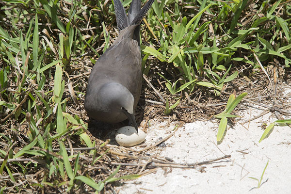 Picture of Brown noddy with egg on Ile aux CocosIle aux Cocos - Mauritius