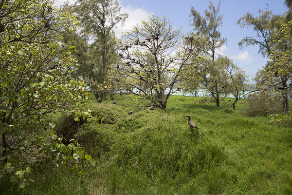 Interior of Ile aux Cocos with trees full of birds | Ile aux Cocos | Mauritius