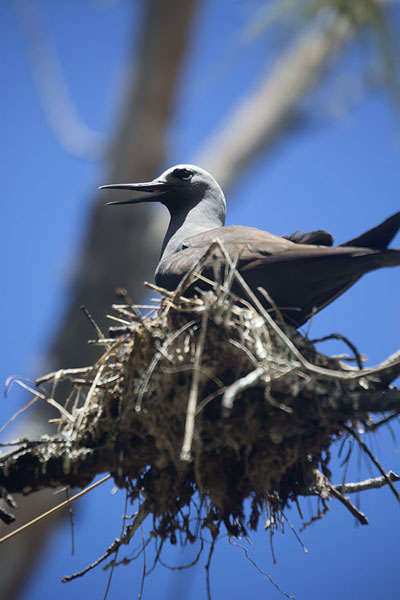 Foto van Brown noddy on a nest in a treeIle aux Cocos - Mauritius