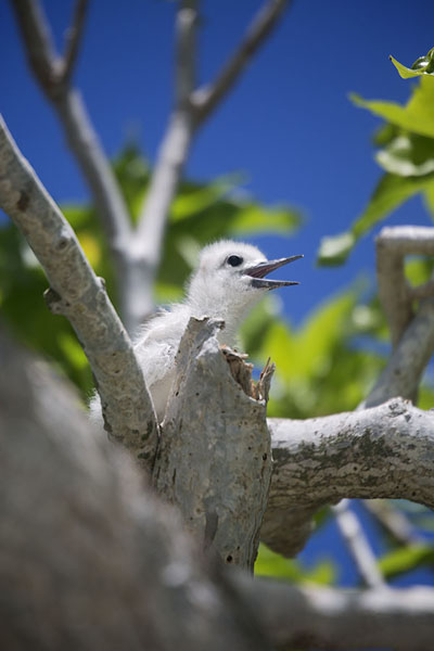 Chick of white tern in a tree | Ile aux Cocos | 模里西斯