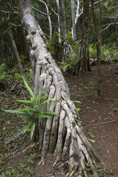 Roots of a walking tree in the Grande Montagne reserve | Reserve Grande Montagne | Mauritius