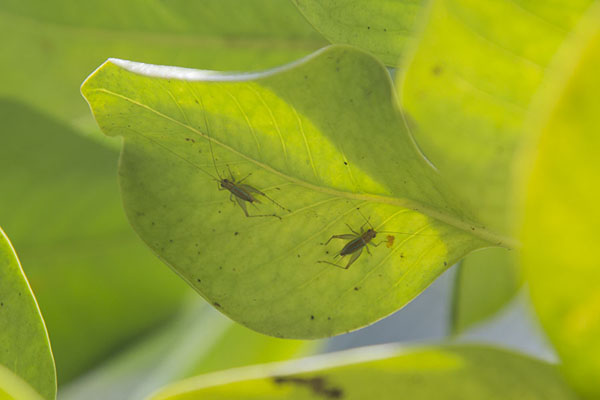 Two rare insects on a leaf in the Grande Montagne reserve | Reserve Grande Montagne | Mauritius