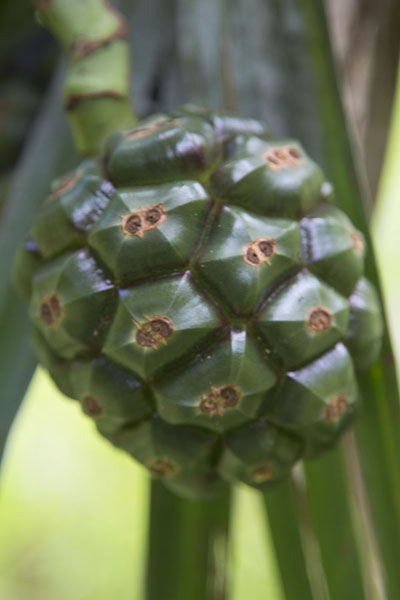 Picture of Pandanus fruit in the Grande Montagne reserveReserve Grande Montagne - Mauritius