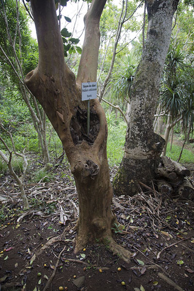 Exotic tree that is destined to wither away and make room for an endemic tree | Reserve Grande Montagne | Mauritius