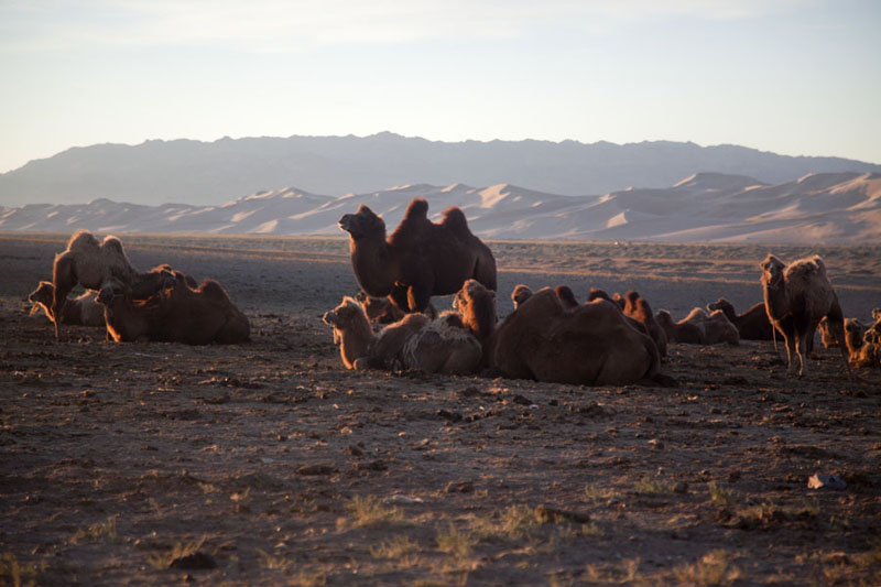 Foto van Bactrian camels waking up in the early morningKhongoryn Els - Mongolië
