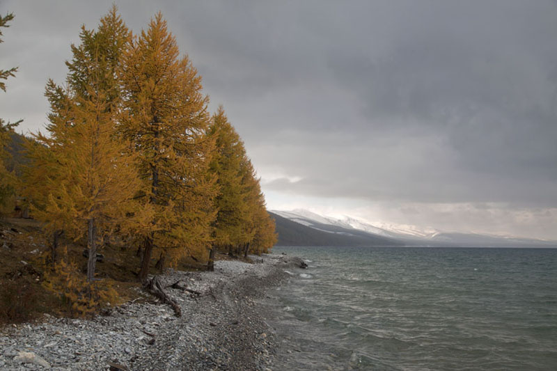 Picture of Trres in autumn colours on a beach of pebbles and snowy mountains in the backgroundKhövsgöl Nuur - Mongolia