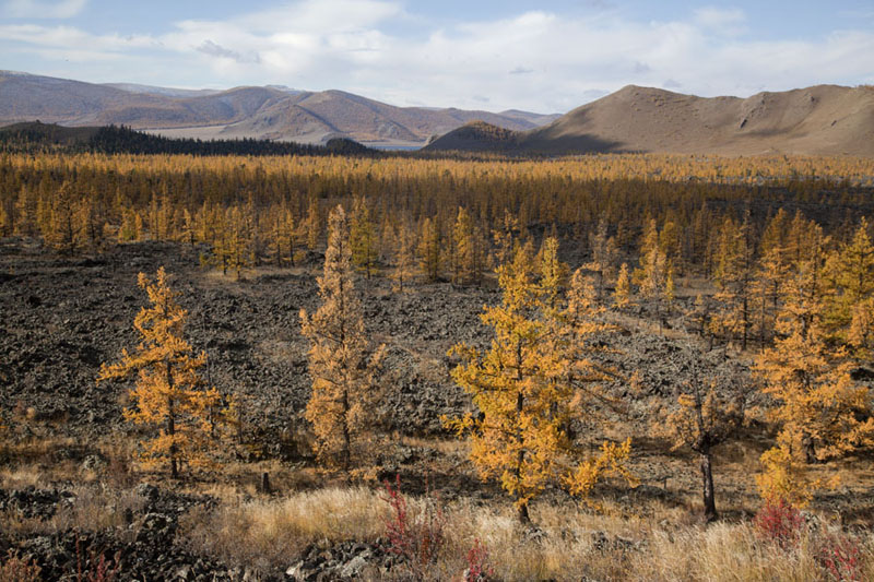 Trees in the volcanic field at the feet of Khorgo Uul | Terkhiin Tsagaan Nuur | Mongolia