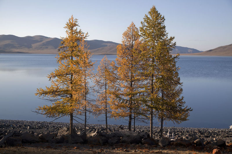Cluster of trees with yellow leaves with Zuum Nuur in the background | Zuum Nuur | Mongolia