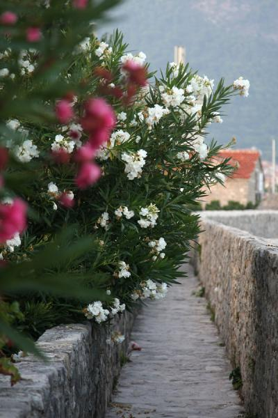 Foto de Flowers over the old city wall of Budva - Montenegro - Europa