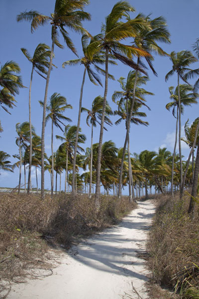 Picture of Palmtrees lining the track running along the coast of Matemo island