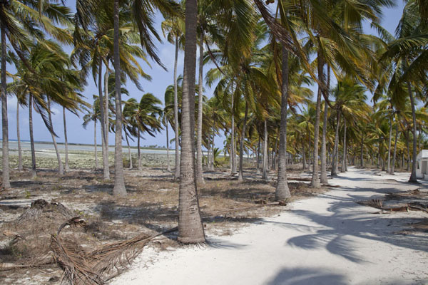 Palmtrees on the east coast of Matemo island | Matemo Island | Mozambique