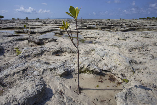 Foto de Lone mangrove branch at low tide on IboMujaca - Mozambique