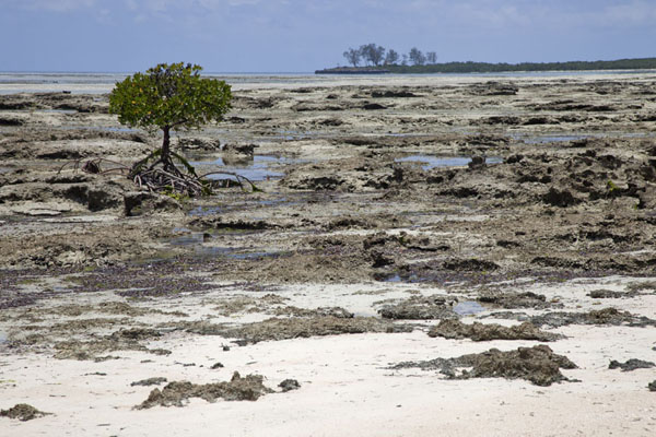 Mangrove tree at low tide with Mujaca in the background | Promenade au phare de Mujaca | Mozambique