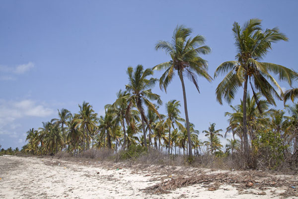 Tall palm trees on the beach near Mujaca | Promenade au phare de Mujaca | Mozambique