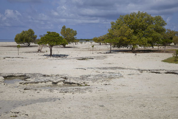 The mangroves at low tide on the way to Mujaca | Promenade au phare de Mujaca | Mozambique