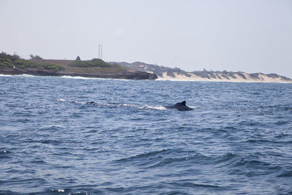 Foto di Humpback whale with baby whale near the coast of TofoTofo - Mozambico