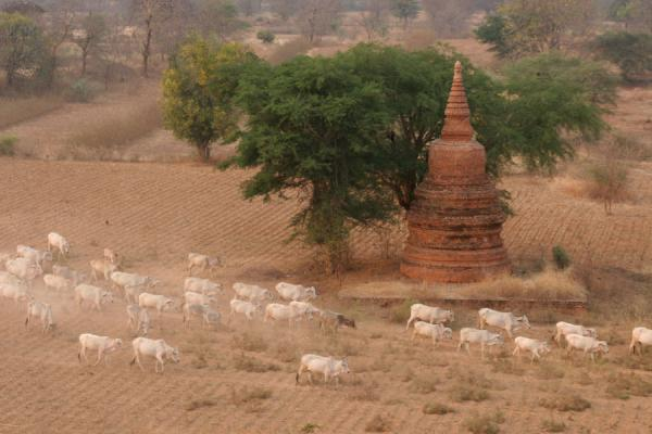 Foto di Sheep running around a small temple at BaganMyanmar (Birmania) - Myanmar (Birmania)