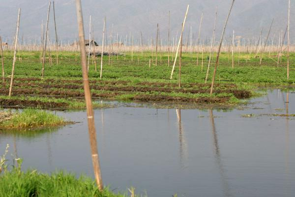 Picture of Floating garden on Inle lake: highly fertile way of growing vegetables - Myanmar (Burma) - Asia