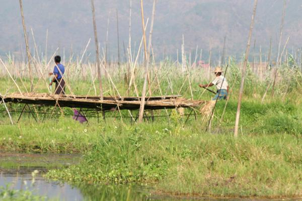 Picture of Rowing through a floating garden on Inle Lake
