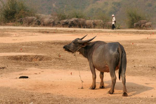 Foto di Lonely buffalo at the market of KengtungMyanmar (Birmania) - Myanmar (Birmania)
