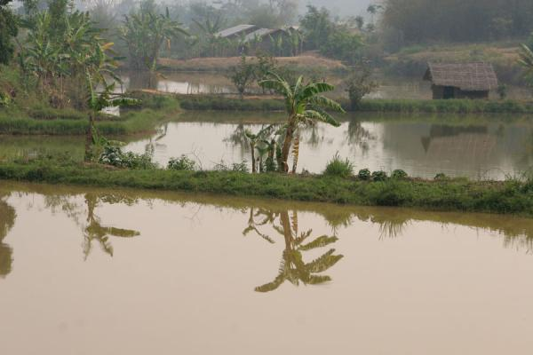 Trees reflected in a lake in a rice terrace | Kengtung | Myanmar (Birmanie)