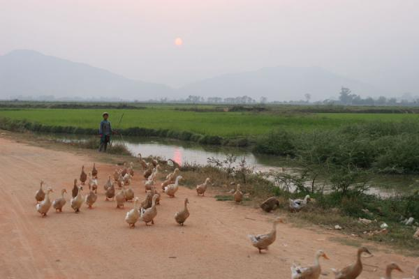 Foto di Gooseherd walking his geese home at sunset near KengtungMyanmar (Birmania) - Myanmar (Birmania)