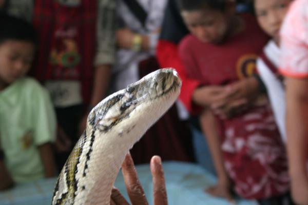Foto de One of the pythons of the Snake pagoda sticking his head outMyanmar (Birmania) - Myanmar (Birmania)