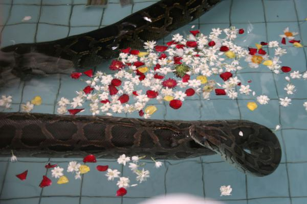 Picture of One of the pythons in the pool with flowers and moneySnake Pagoda - Myanmar (Burma)