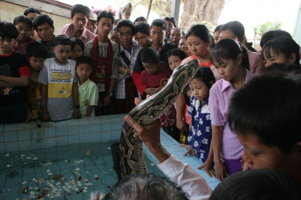 Picture of Snake Pagoda (Paleik) (Myanmar (Burma)): Python being washed at the Snake Pagoda