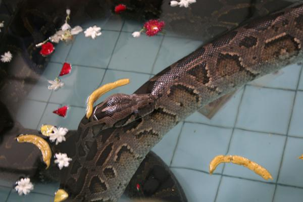 Picture of Snake Pagoda (Paleik) (Myanmar (Burma)): Shitting python in the pool of the Snake Pagoda