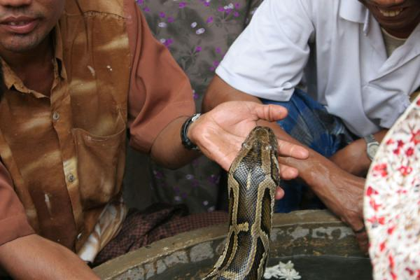 Picture of Head of python being carefully washedSnake Pagoda - Myanmar (Burma)