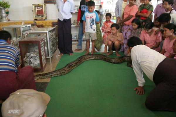 Picture of Crowd looking at the python making its way back to BuddhaSnake Pagoda - Myanmar (Burma)