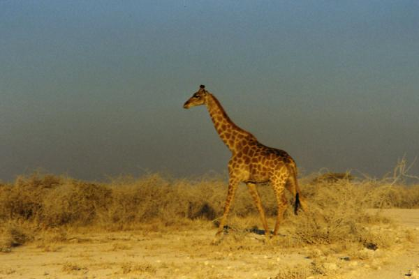 Giraffe towering above the landscape | Etosha National Park | Namibia