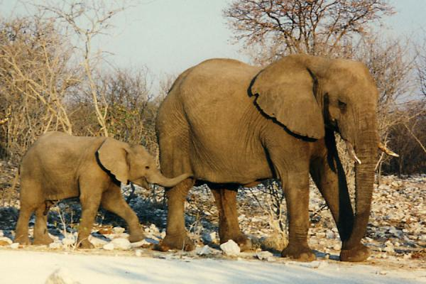 Elephant family on the move | Etosha National Park | Namibia