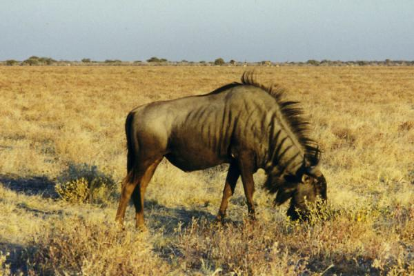 Foto di Gnu in the vast Etosha plainsEtosha - Namibia