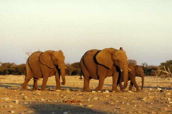 Picture of Etosha National Park (Namibia): Elephants just before sunset in Etosha