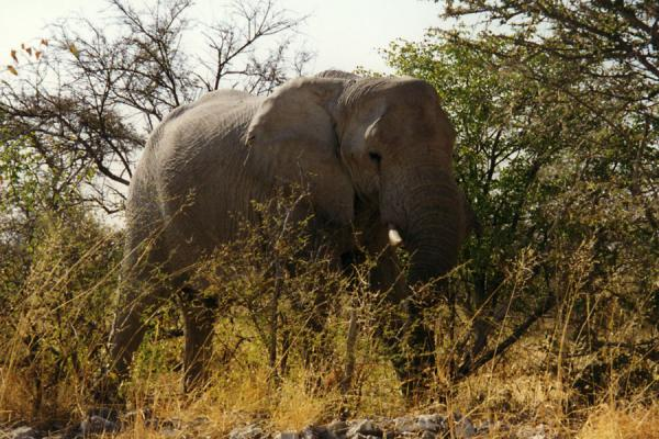 Picture of Elephant enjoying lunchEtosha - Namibia