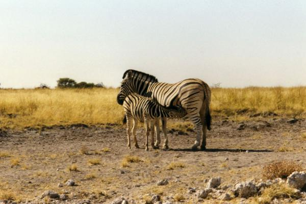 Foto di Zebra mother and childEtosha - Namibia