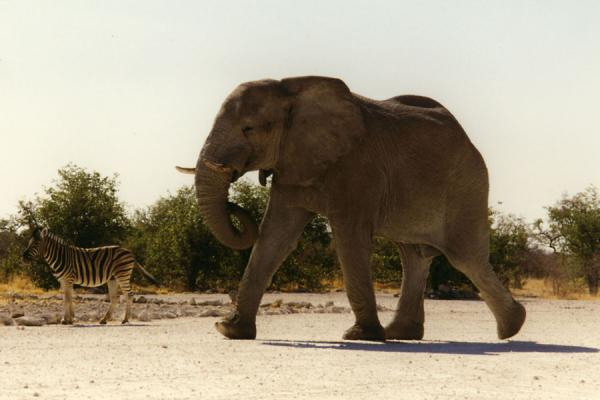 Picture of Etosha National Park (Namibia): Elephant towering above a zebra in Etosha