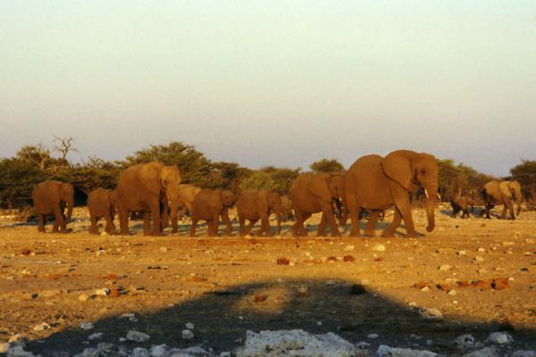 Picture of Adult and young elephants in the late afternoon