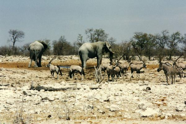 Elephants, gemsbok and zebra at a waterpool in Etosha | Etosha National Park | Namibia